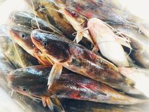 Nakna havskatter, Bagrid catfishes& x29; royaltyfria foton