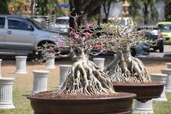 NAKORNPRATOM,泰国3月03,2015 :关闭大Adenium obesum 库存照片