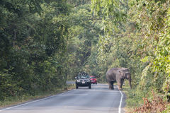 Nakornratchasima, Thailand - February 20, 2016: Park Rangers Aut. Horities try to use the car to guide the Elephants back into the forest Stock Photo