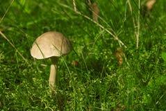 Nakrętka borowika jadalna pieczarka Fotografia Stock
