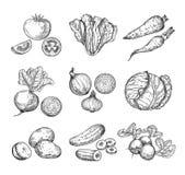 Nakreśleń warzywa Świeży pomidor, ogórek i marchewki, grule Ręki rysujący cebule, rzodkiew i kapusta, Ogrodowy warzywo ilustracja wektor
