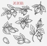 Nakreślenia jojoba wywodzą się z liśćmi i dokrętką ilustracja wektor