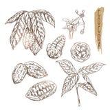 Nakreślenie kakaowy strąk z ziarnami, gałąź i kwiatem, Wektorowy czekoladowy składnik robić w rocznika stylu Fotografia Royalty Free