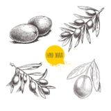 Nakreślenie ręki rysować oliwki ustawiać Oliwne owoc wiązka i gałązki oliwne z liśćmi również zwrócić corel ilustracji wektora Obraz Royalty Free