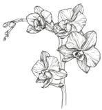 Nakreślenie Storczykowy kwiatu okwitnięcie ilustracja wektor