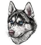 Nakreślenie husky pies Obraz Stock