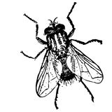 Nakreślenie - insekt komarnica obraz stock