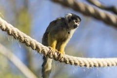 Nakrywająca wiewiórcza małpa Fotografia Stock