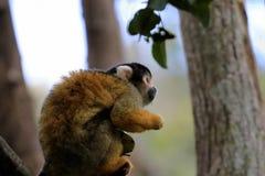 Nakrywająca wiewiórcza małpa, Południowa Afryka zdjęcie stock