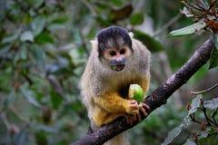 Nakrywająca wiewiórcza małpa, Południowa Afryka fotografia royalty free