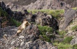 Nakrywający świstak przy półwysepa kamczatka parkiem narodowym Obraz Stock