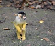 Nakrywający wiewiórczej małpy Saimiri boliviensis fotografia stock