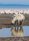 在湖nakuru,肯尼亚的犀牛 免版税库存图片