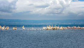 Массы птиц и фламинго белого пеликана на озере Nakuru, Стоковое фото RF