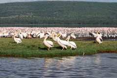 Nakuru Birds Stock Image