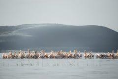 NakuruBig小组火鸟和鹈鹕,湖(肯尼亚) 免版税库存照片