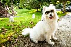 Nala the Samoyed in the park with Sunglassess royalty free stock photos