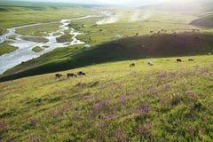 Nalati grässlätt med får Royaltyfria Bilder