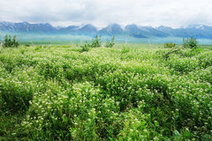 Nalati grassland. With snow mountains,located in Xinjiang,Cina royalty free stock images