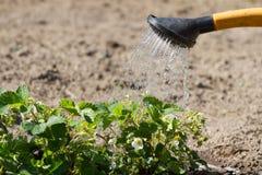 Nalewać kwitnącej truskawki Obraz Royalty Free