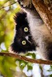 Nallebjörn som den utsatte för fara Indri makin på träd i Madagascar Arkivfoton