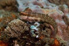 Nalolo-Blennyfische, die auf dem Riff sitzen Stockfotografie