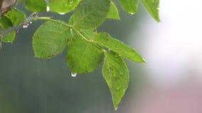 Nam blad in een regenachtige dag toe stock footage