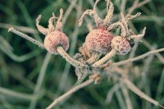 Nam bladeren en heupen met rijpmacro die worden behandeld toe royalty-vrije stock foto