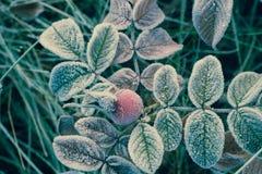 Nam bladeren en heupen met rijpmacro die worden behandeld toe stock foto