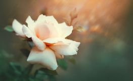 Nam bloeiend in de zomertuin toe Roze rozenbloemen die in openlucht groeien Aard, tot bloei komende bloem stock fotografie