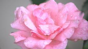 Nam bloem in een regenachtige dag toe stock videobeelden