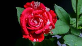 Nam bloem het bloeien timelapse 4K UHD toe stock videobeelden