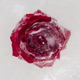Nam bloem in ijsblok dat wordt bevroren toe Close-up Stock Foto's