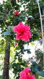 Nam bloem uttrakhand roze bloem toe Stock Afbeeldingen