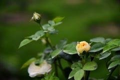 Nam bloemknop toe Stock Afbeeldingen