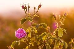 Nam damascena bij zonsopgang toe Royalty-vrije Stock Foto