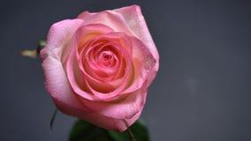 Nam de close-up hoogste spruit van vrij roze bloem met tedere bloemblaadjes met romantical verlichting met achtergrond toe royalty-vrije stock afbeeldingen