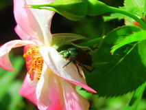 Nam de close-up Japanse Kever op mooie Roze in zonneschijntuin toe Royalty-vrije Stock Foto