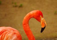 Nam Flamingo bij het Park Luise in Mannheim toe Stock Afbeelding