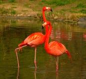 Nam Flamingo's bij Dierentuin in Heidelberg, Duitsland toe Stock Afbeeldingen