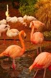 Nam Flamingo's bij het Park Luise in Mannheim toe Stock Foto