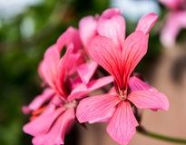Nam geranium toe Stock Foto