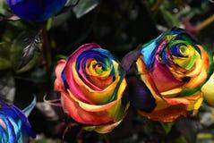 Nam installatie, multicolored bloem van Holambra Brazilië toe stock foto's