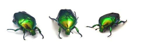 Nam kever, cetoniaaurata toe royalty-vrije stock afbeeldingen
