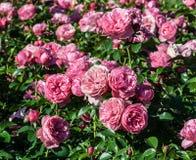 Nam Leonardo da Vinci heel wat rozen van struiken grote dubbele bloemen toe royalty-vrije stock foto's