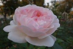 Nam lijkend lotusbloem op bloemen in de tuin toe Royalty-vrije Stock Afbeelding