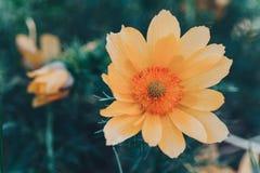 Nam op de bokehachtergrond toe Horizontale abstracte achtergrond Mooie oranje bloem Flowerbackground, gardenflowers Stock Foto's
