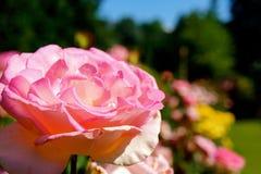 Nam in Portland Rose Gardens toe stock foto