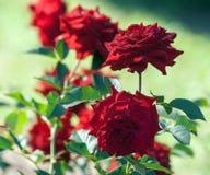 Nam rang lubecker rotspon, beschrijven toe aangezien het Bourgondië-rood, de bloemen donkerrood is royalty-vrije stock fotografie