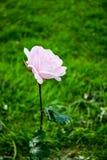 Nam roze schaduw op een groene achtergrond toe stock foto